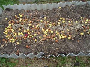 Рецепт яблочного вина в домашних условиях