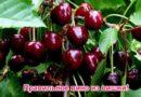 Как сделать вино из вишни — по проверенному рецепту с косточками и без