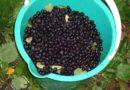 Вино из черноплодной рябины — готовим дома