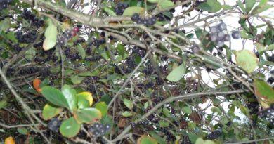 Вино из черноплодной рябины в домашних условиях простой рецепт